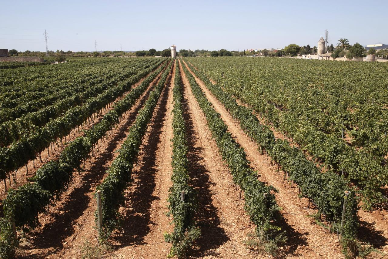 MALLORCA. AGRICULTURA. LA VIÑA ESTÁ DE MODA. El campo mallorquín rebrota con el auge del vino.