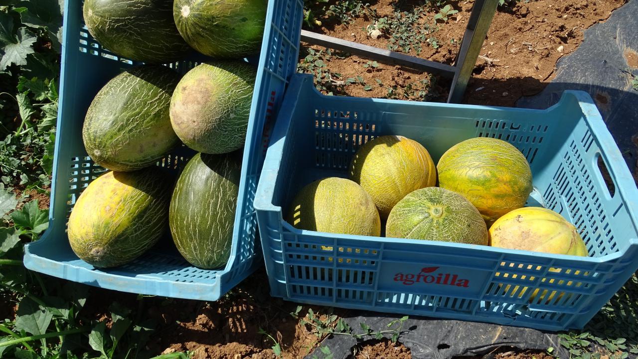 ARIANY. AGRICULTURA. Buena cosecha de melones en Ariany.