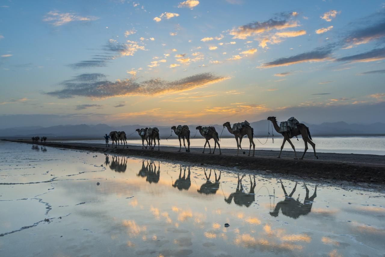 Camels loaded with pan of salt walking through a salt lake at sunset