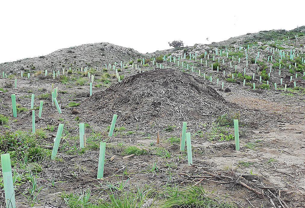 Los escolares reforestan el Coll d'Artà asolado por el incendio de 2011