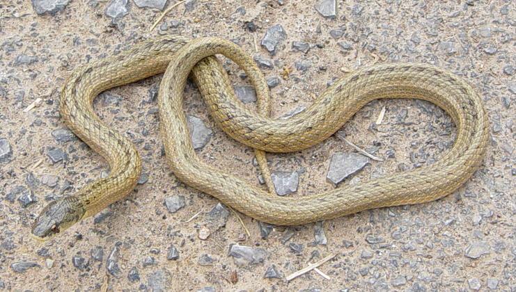 Guía para diferenciar los distintos tipos de serpientes de Mallorca