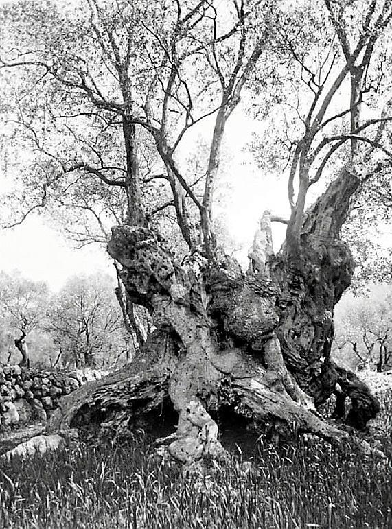 Enamorados de los olivos centenarios de Mallorca