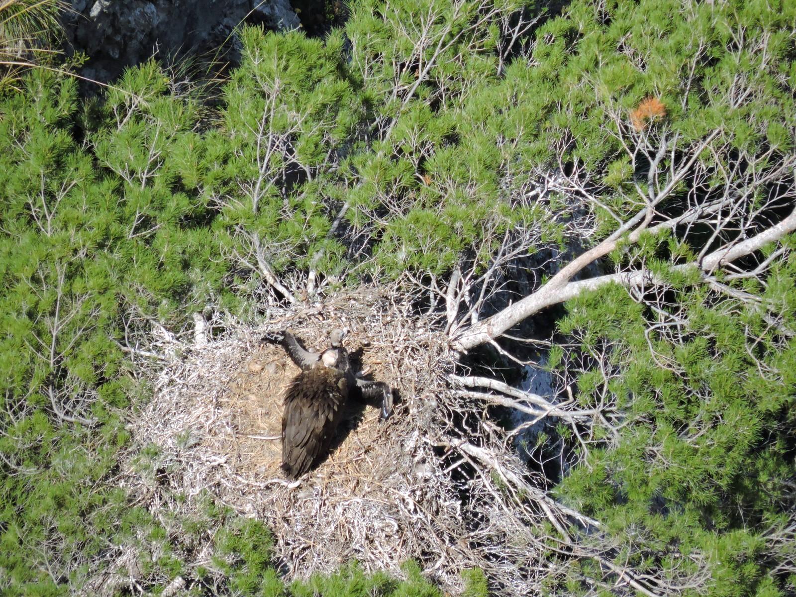 La población del buitre negro en la Serra de Tramuntana crece con 33 nuevos ejemplares