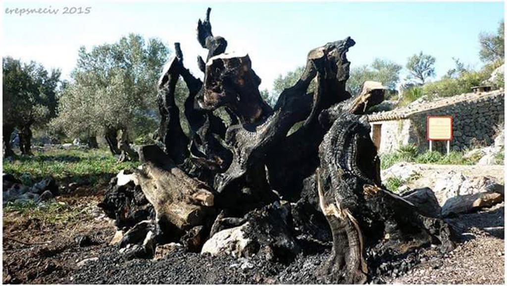 El fuego acaba con el olivo centenario de Mortitx
