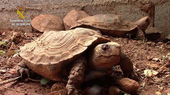 Desarticulada en Mallorca una organización internacional dedicada al tráfico ilegal de tortugas