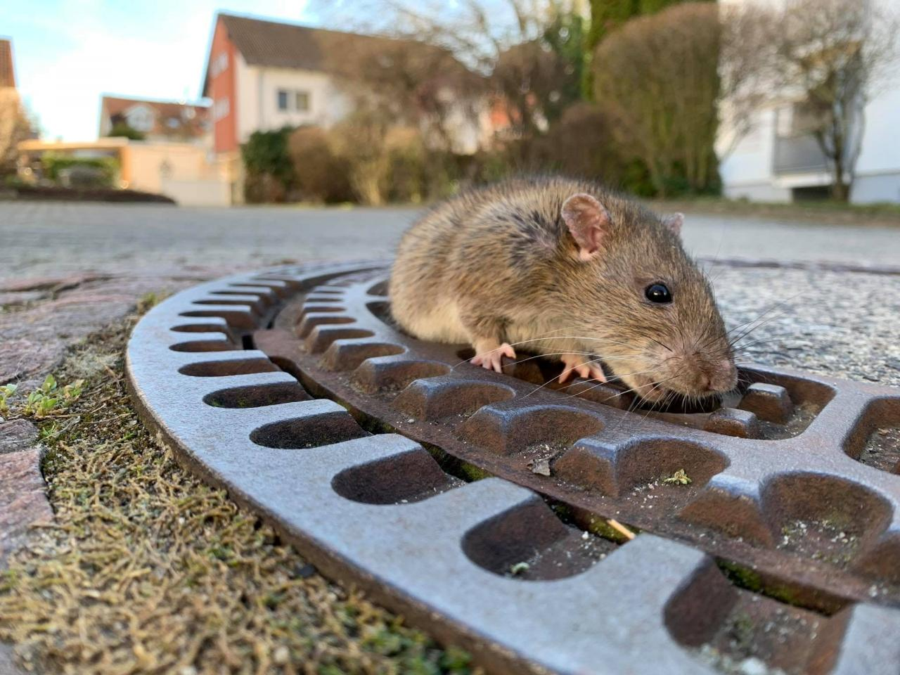 Rat reacts while being stuck in a manhole cover in Bensheim-Auerbach