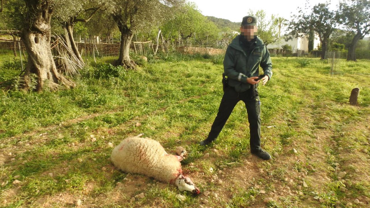 Ataque de perros a ovejas en Andratx