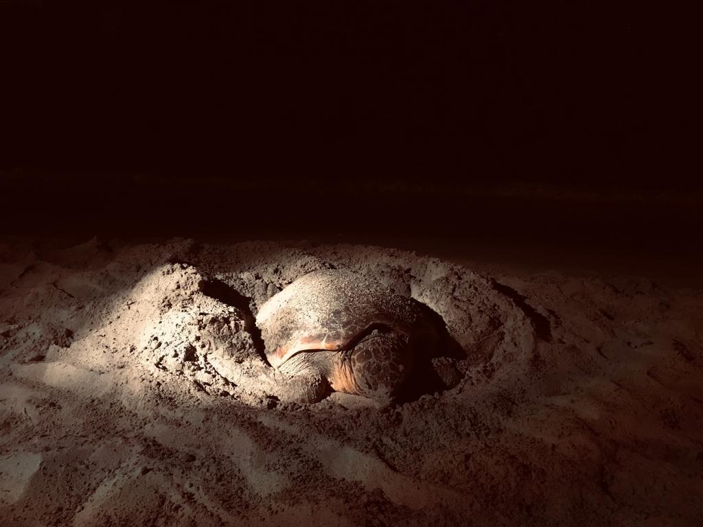 La Policía Local custodia una tortuga mientras pone huevos en playa d'en Bossa