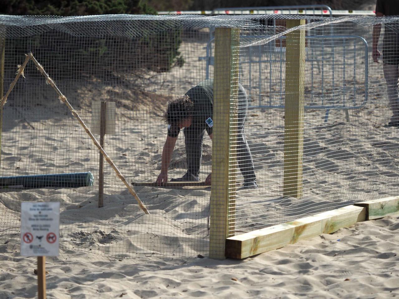 Una tortuga marina elige Platja d'en Bossa para poner sus huevos por primera vez en Balears