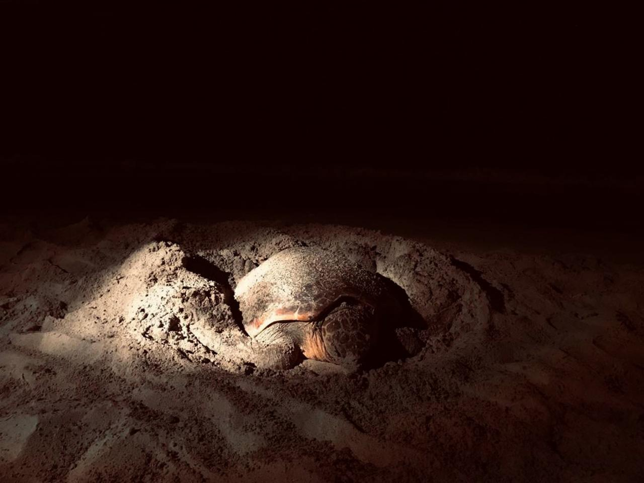 La Policía Local protege el desove de una tortuga en Platja d'en Bossa