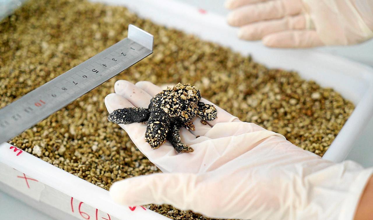 Las tortugas quedarán vigiladas en centros hasta que cuenten con un tamaño de aproximadamente 60 centímetros.