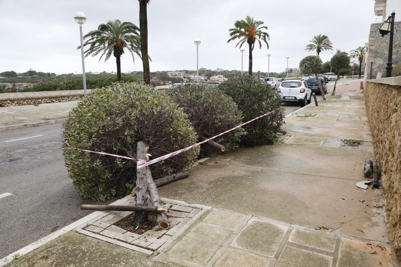 Menorca Javier Coll efectos tramontana arboles tumbados y cortados