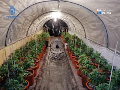 Imagen de la plantación de marihuana hallada por los agentes.