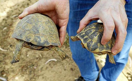 A la izquierda, ejemplar de tortuga mora; a la derecha, de tortuga mediterránea.