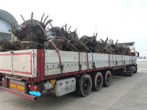 Uno de los camiones cargado de olivos,