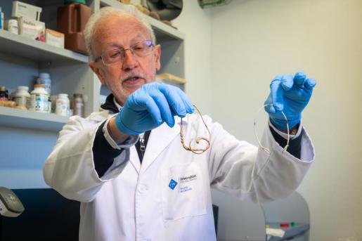 El investigador Fèlix Grases sujeta un catéter limpio (a la derecha) y otro con calcificaciones acumuladas en tan sólo unos meses.