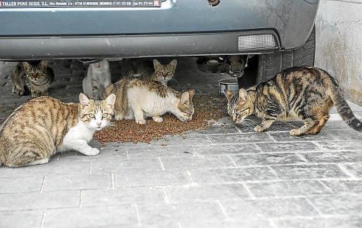 Colonia de gatos en Palma.