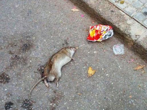 Imagen de archivo de una rata.