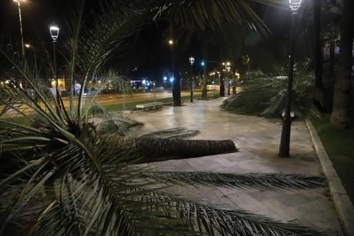 Vista e algunas de las palmeras derribadas por el viento.