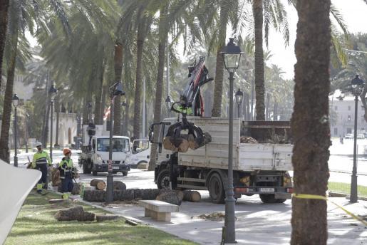 Operarios retirando las palmeras que cayeron el pasado martes por el fuerte viento en Palma.