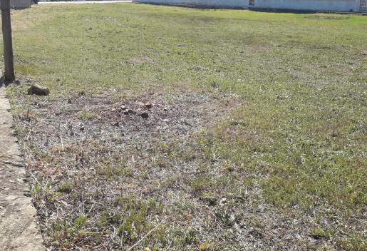 Tala de arboles de zonas públicas en Alcudia