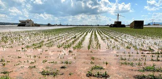 Imagen de una cosecha de patata anegada por las inclemencias meteorológicas.