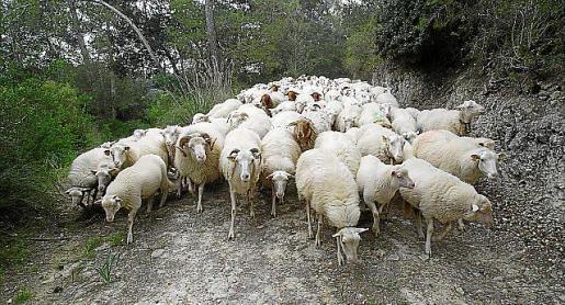 En solo una semana se han sacrificado 6.700 corderos.