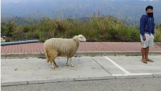 Imagen facilitada por la Guardia Civil del hombre, paseando a la oveja.