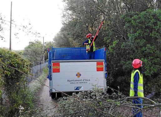 Aunque los parques y jardines municipales siguen desiertos de usuarios, la brigada de jardinería municipal volvió este jueves a las calles en Inca para desarrollar los trabajos habituales de mantenimiento, tras dos semanas de inactividad. En la imagen una de las podas realizadas esta semana.