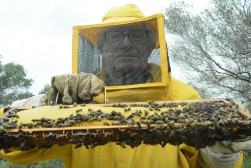 Tomeu Pizá extrayendo los panales de las 'caeres' para comprobar la miel.