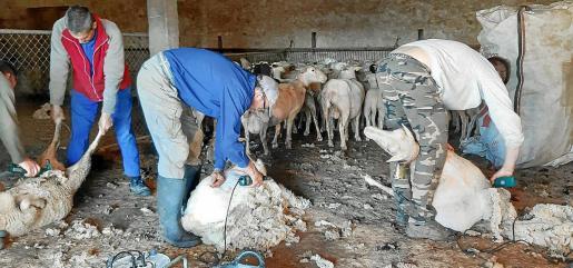 Amigos se ayudan a esquilar las ovejas ante la falta de profesionales por el estado de alarma.