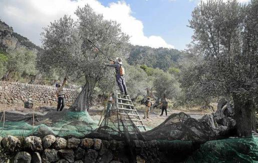 El olivo es un árbol adaptado a nuestras condiciones climáticas.