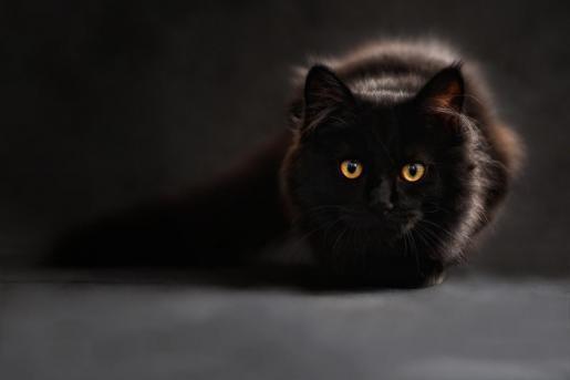 Los gatos no pueden transmitir el coronavirus a personas.