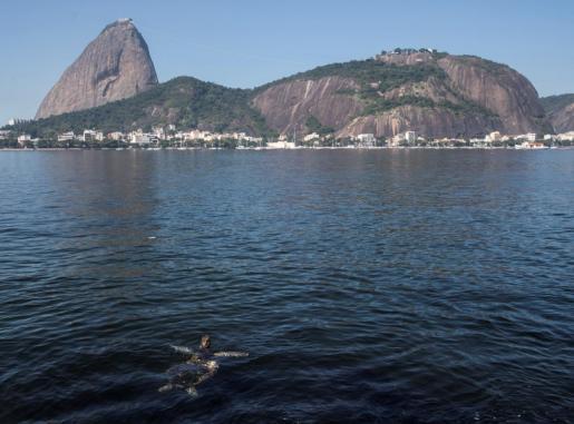 Una tortuga nada en la Bahía de Guanabara Rio de Janeiro.