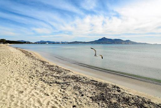 La Playa de Muro es una de las más grandes y populares entre los residentes mallorquines por la transparencia de sus aguas y la belleza de su entorno.