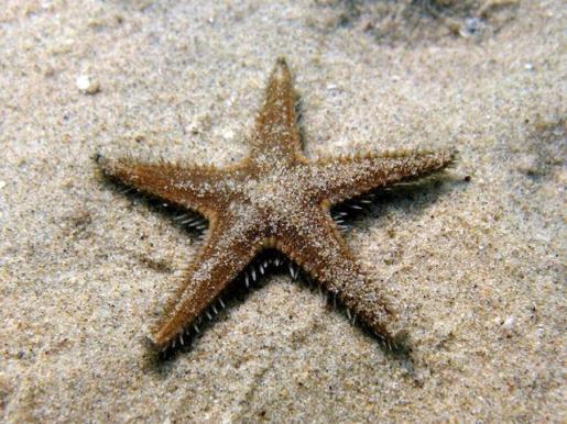 Las 'Astropecten spinulosus' son una especie endémica de las aguas de Baleares y vive entre los dos y cincuenta metros de profundidad.