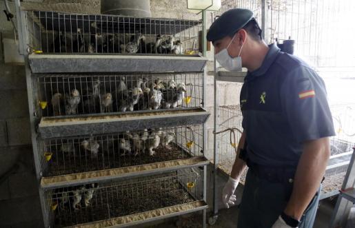 Aves. Durante la jornada que este periódico compartió con la Guardia Civil, los agentes examinaron detenidamente pollos, gallinas y pavos de una finca de Mallorca. Cualquier indicio sobre enfermedad es registrado por los investigadores, que hacen un seguimiento exhaustivo.