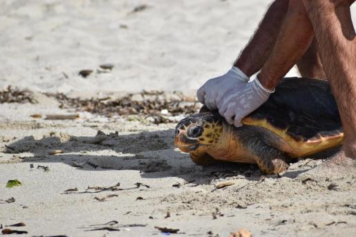 Momento de la liberación de una de las tortugas.