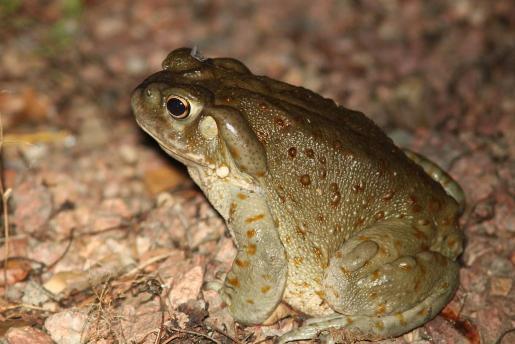 El veneno se extrae del sapo de Sonora o 'bufo alvarius'.