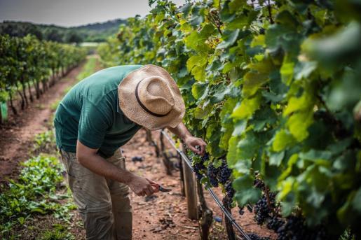 Vitinicultores o productores de viñedos si optan por la 'cosecha en verde' deberán desechar toda la uva de la finca.