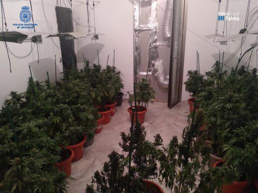 Los agentes se incautaron de 700 plantas de marihuana con un peso de 140 kilos en los 11 registros en La Soledat y Pere Garau.
