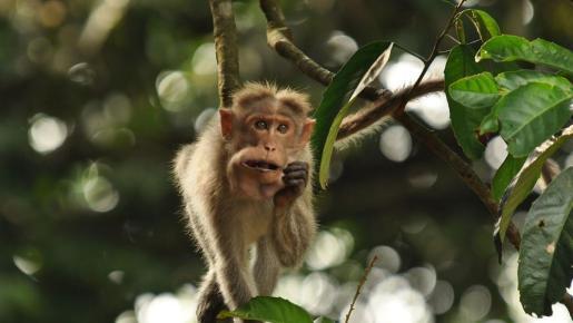 Un mono alcohólico mata a un hombre y hiere a otros 250 en la India.