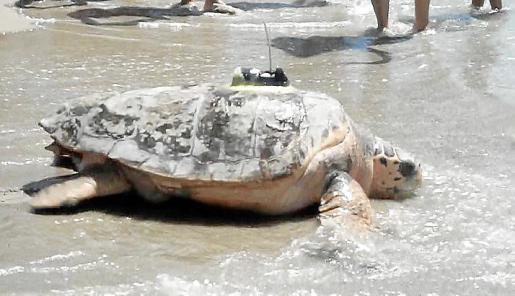 Una tortuga de casi 100 kilos de peso que fue liberada el pasado jueves en las playas de Oropesa.