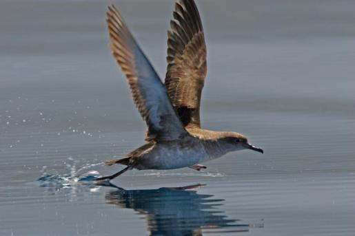 La pardela balear es una especie endémica del archipiélago y la especie marina más amenazada de Europa.