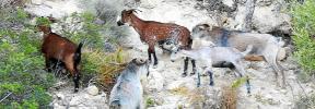 Las cabras crean el caos tras invadir una zona urbana del Port d'Andratx