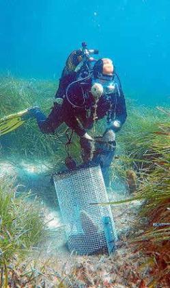 Un buceador coloca una jaula de exclusión de depredadores para proteger a los moluscos supervivientes.