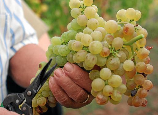 Este mismo mes de julio, los vitivinicultores y payeses que se han acogido a la ayuda de 'cosecha en verde' deberán recoger la uva sin madurar. La cortan y la depositan en el suelo o la entierran a cambio de una subvención del Ministerio que ronda los 3.500 euros por hectárea desechada.
