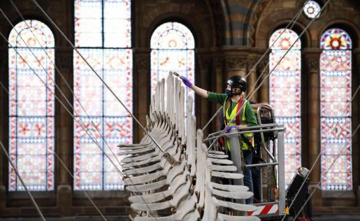 Esta medida contribuiría a reducir el impacto en la incorporación al trabajo de los británicos tras su estancia en España. En la imagen una trabajadora del Natural History Museum de Londres preparándose para la reapertura.