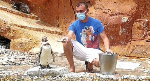 Uno de los entrenadores, dando de comer a uno de los pingüinos, algo que encanta ver a niños y mayores.