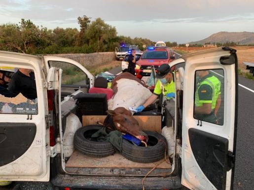 El caballo quedó atrapado en el interior de la furgoneta Fiat, que circulaba en sentido Inca, a consecuencia del violento impacto.